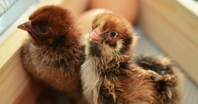How To: Choosing homestead chicken breeds