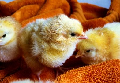 How To: Chick brooder setup